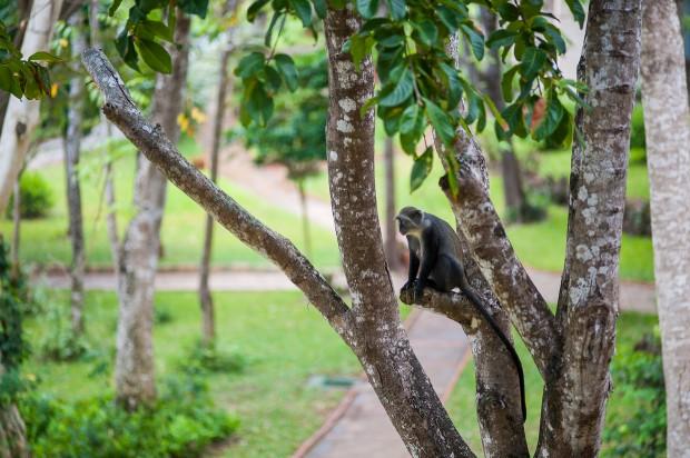 Koczkodany mieszkają na terenie hotelu